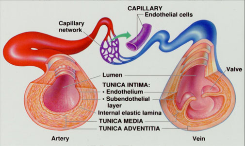 Blood Vessels and Type of Circulation