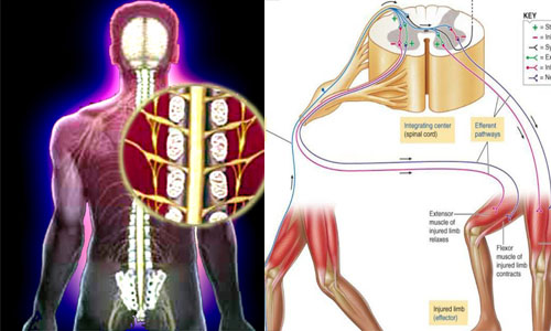 Spinal cord and Reflex actions