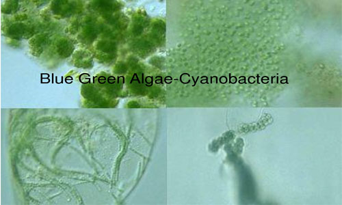 Introduction to Cyanobacteria (Blue-green algae)