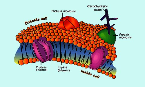 Cell membrane of Eukaryotic Cell