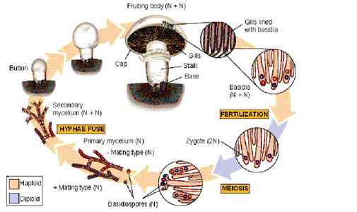 Mushroom Reproduction