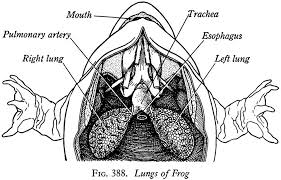 Respiratory system and lymphatic system of frog