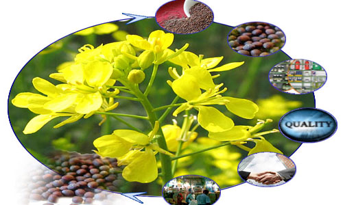 Life Cycle of a Mustard Plant
