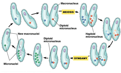 Reproduction in Paramecium