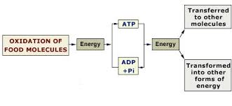 Flow of energy and information through the cell.