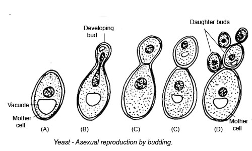 Reproduction in Yeast