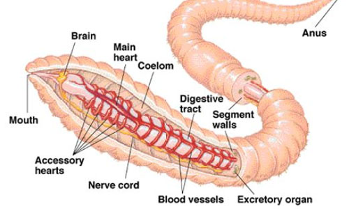 Excretory system of Earthworm