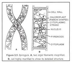 Introduction to Spirogyra