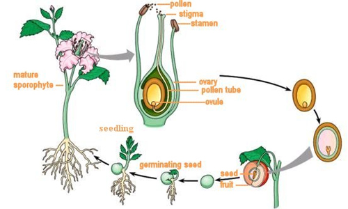 Pollination and Fertilization in Plants