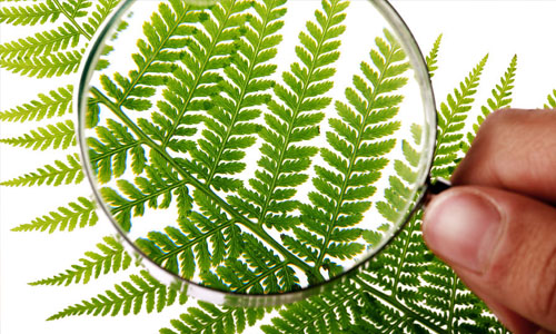 Fern Morphology