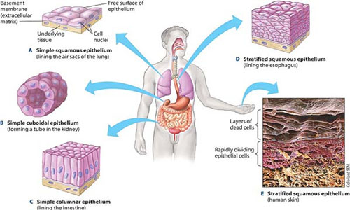 Science for grade 8 kullabs animal tissue ccuart Images