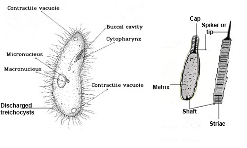 Internal Features of Paramecium