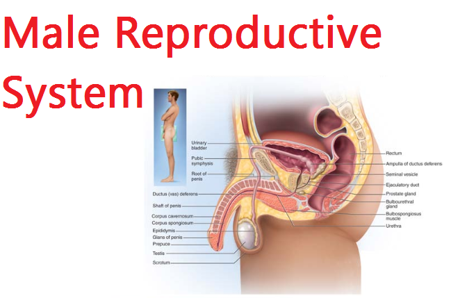 male reproductive system | kullabs, Muscles