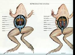 Reproductive system of frog