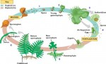 Sexual Reproduction in Fern