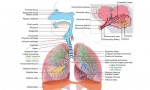 Respiratory System and Circulatory System