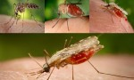 Difference between Culex and Anopheles Mosquitoes