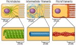 Microbodies Microtubules and Microfilament