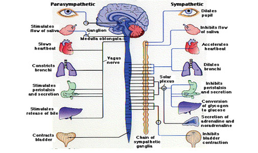 Peripheral and Autonomic Nervous System