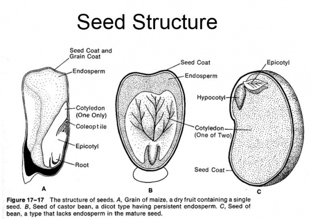 Structure of Bean seeds