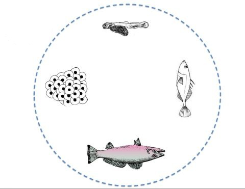 life cycle of fish