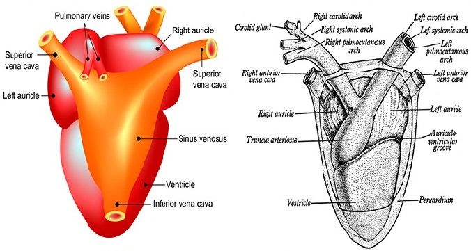 Fig: Dorsal and Ventral view of heart