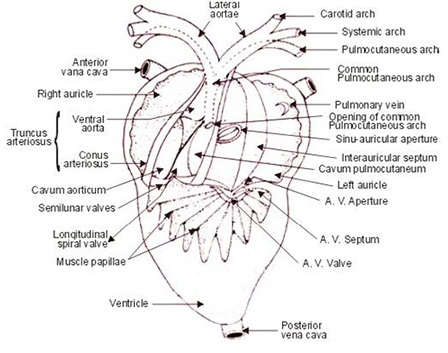 Fig: Internal structure of heart
