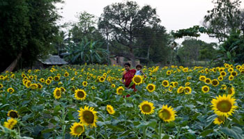 Sunflower farming
