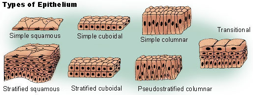 types of epithelium cells