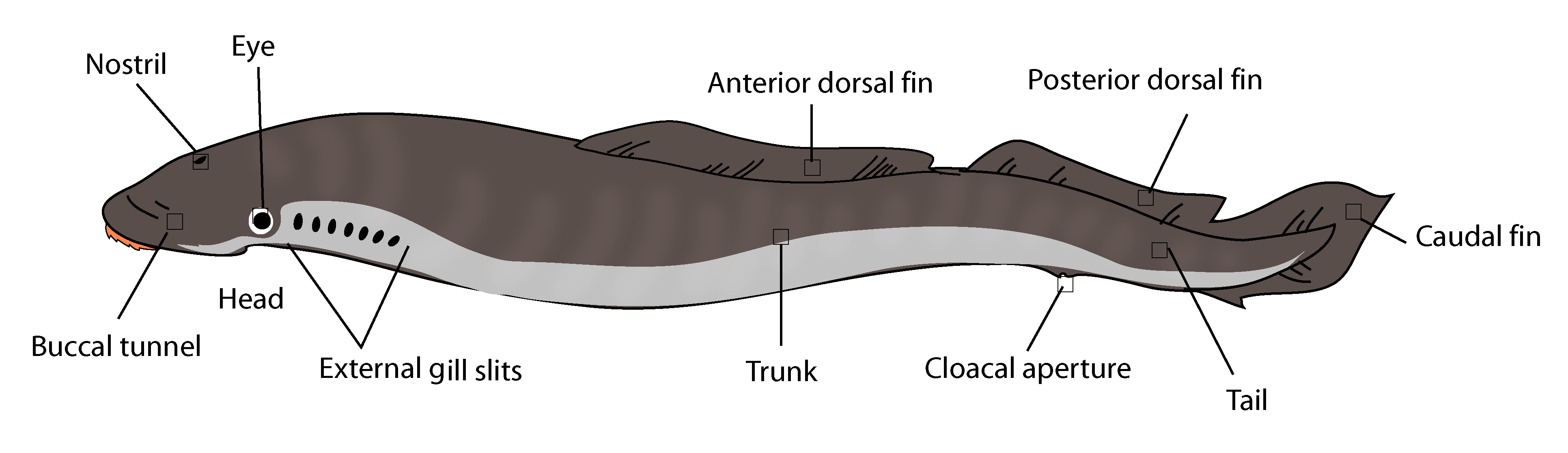hagfish diagram labels