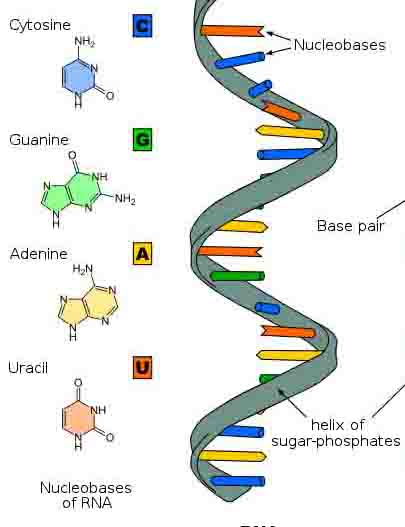 source: www.scienceprofonline.com fig:RNA