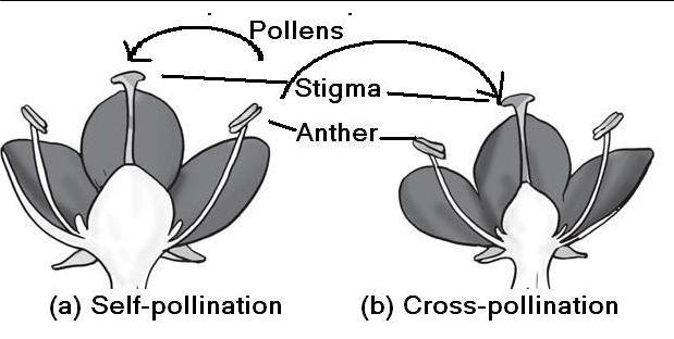 Source: www.meritnation.com Fig: Types of pollination