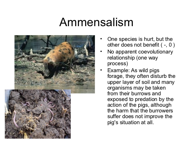 source: www.slideshare.net fig: Ammensalism