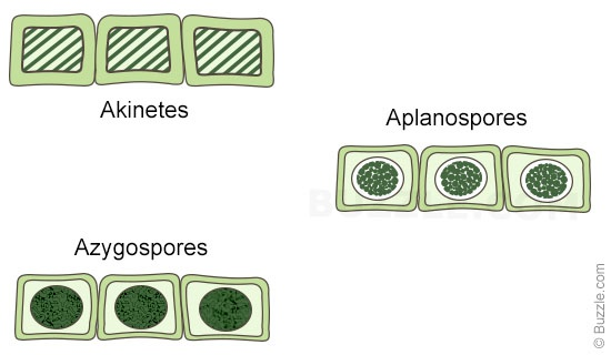 asexual reproduction in spirogyra (Akinete and Aplanospore)