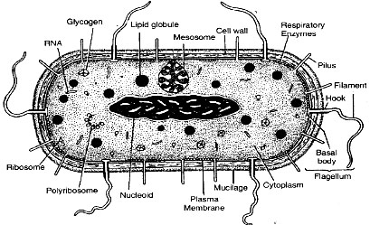 Bacterial cell showing fine structure as revealed by electron microscope (Diagrammatic)