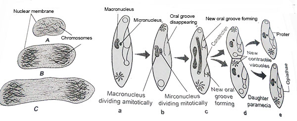 source:www.fcps.edu paramecium showing stage in binary fisson
