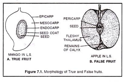 (a) True fruit (mango) (b) False fruit (apple)