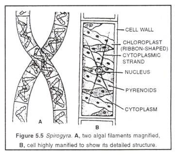Cell structure of spirogyra( portion of filament and single cell)
