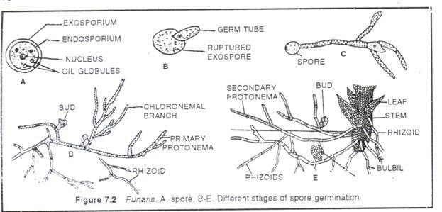 Sexual reproduction in Funaria