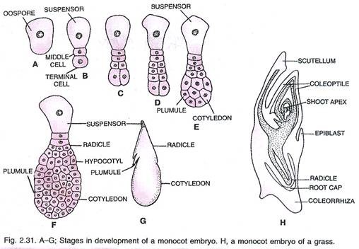 source: www.yourarticlelibrary.com Fig: Monocot embryogenesis