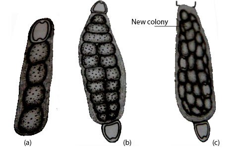 Nostoc- (a) Hormogonium (b) germinating hormogonium (c) a young colony