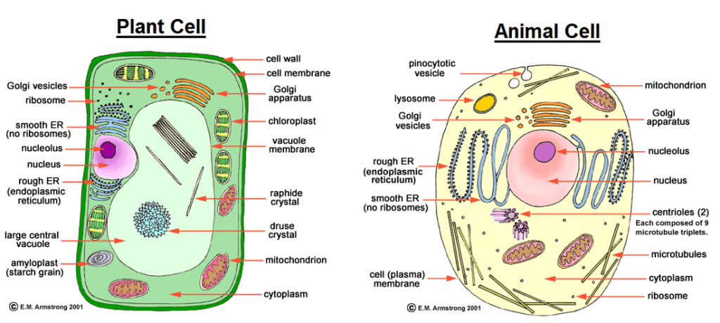 Source: differencetalk.com Fig: Plant cell and Animal cell