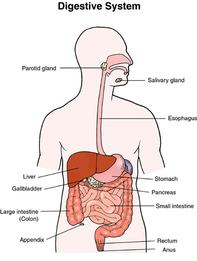 Source: www.2beingwell.com Fig: Digestive System of Human