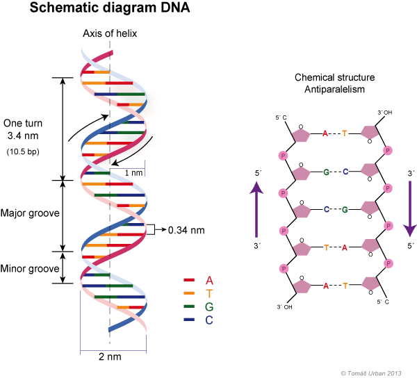 source: web2.mendelu.cz fig: D.N.A double helix structure