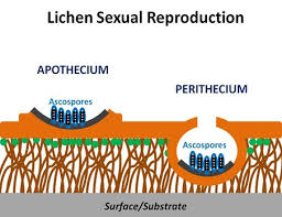 Sexual reproduction in Lichen