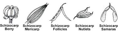 schizocarpic fruit