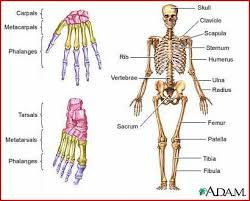 Source:gemn.dvrlists.com Fig; Human bones