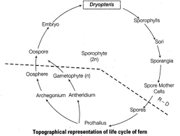 Schematic representation of life cycle of Dryopteris