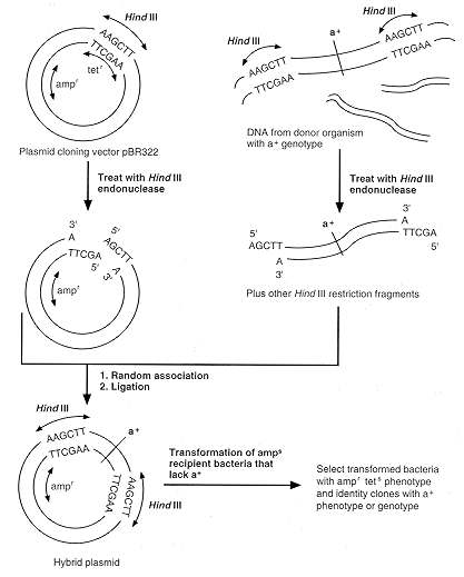 Source: internet.tdmu..edu fig: Diagrametic reprensentation of gene cloning
