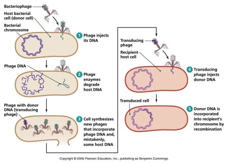 source: www.biologyexams4u.com fig: Transduction in bacteria